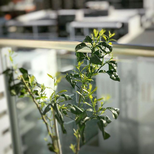 去年は何の変化もなくガッカリだった柚子の苗木。試しにひと枝切って日当たりの良い北側に移したらグングン新芽が!隣のメイヤー檸檬はすでに蕾が2つついています。 (Instagram)
