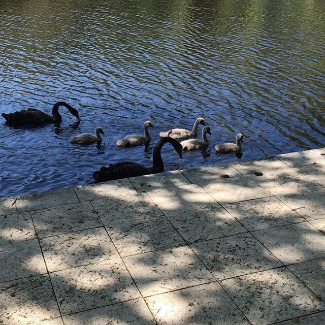 Sunny Sunday Appreciation ちょっと前までヒヨコだったブラックスワンの子供達はティーンエイジャー位かしら?スワンは鳥類の中では自立が遅めらしいです。そしていつも夫婦で子供達を見守っています。 (Instagram)